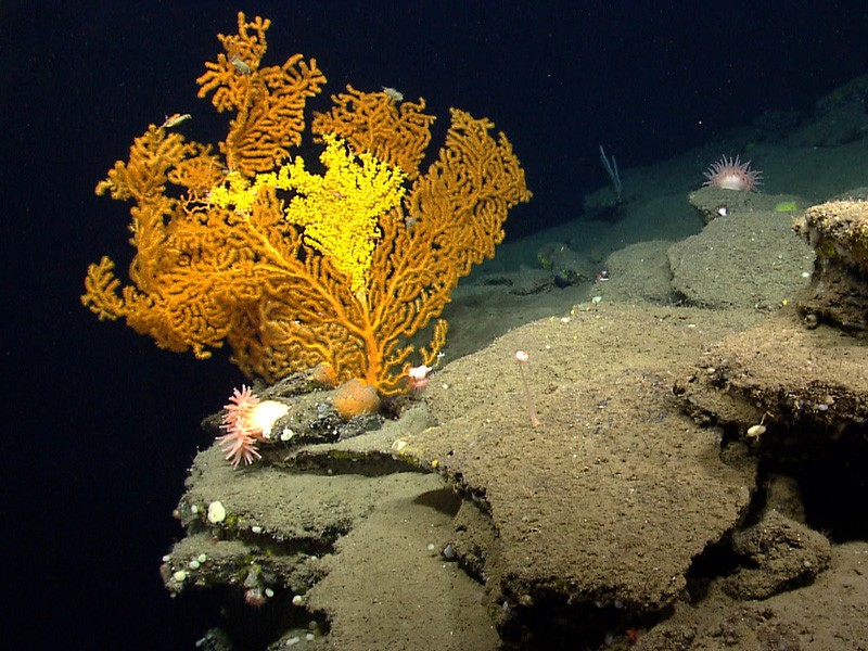 A Paramuricea coral in Nygren Canyon which 165 nautical miles southeast of Cape Cod, Massachusetts.