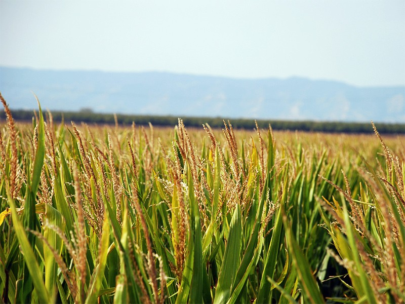 A corn field in California.