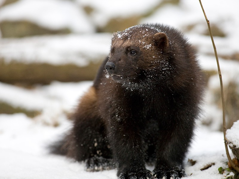 After more than a century of trapping and habitat loss, wolverines in the lower 48 have been reduced to small, fragmented populations in Idaho, Montana, Washington, Wyoming and northeast Oregon.