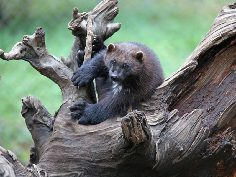 """Wolverines, says journalist and wildlife biologist Douglas H. Chadwick, are """"not afraid of anything. They climb peaks that human climbers turn back from. So they're just fearless, and they're tireless, and they got no end of attitude."""""""