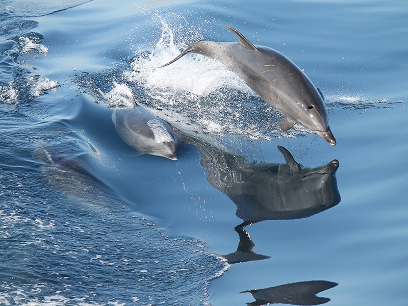 A pod of dolphins swim off the coast of Southern California.