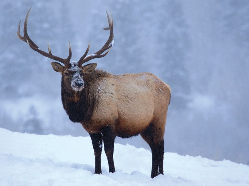 An elk in winter.