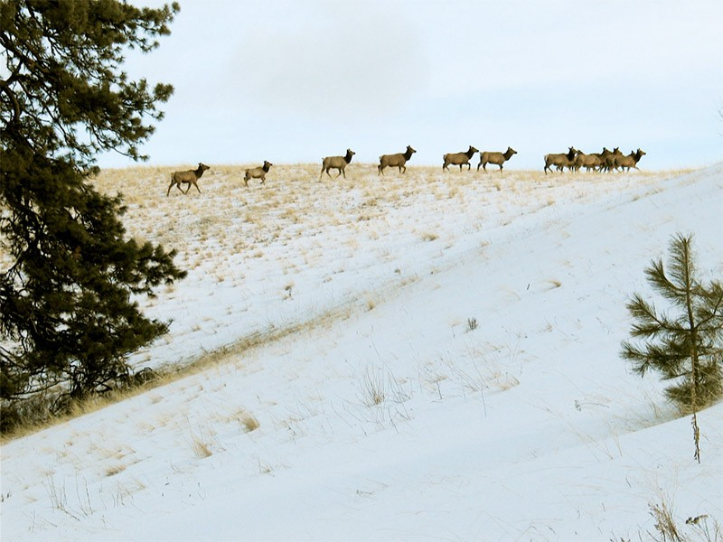 Elk in the Rapid River Roadless area in Idaho's Nez Perce National Forest.