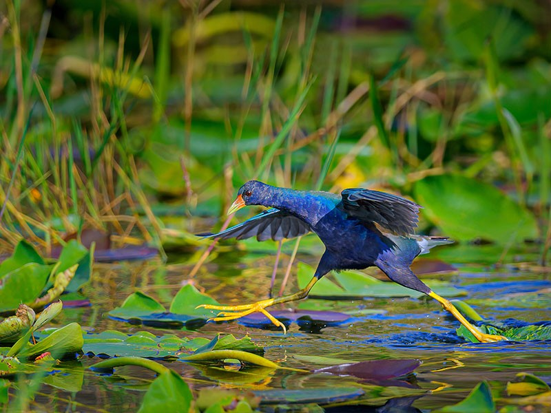 A purple gallinule carefully walks on lily pads in the Everglades in Florida.