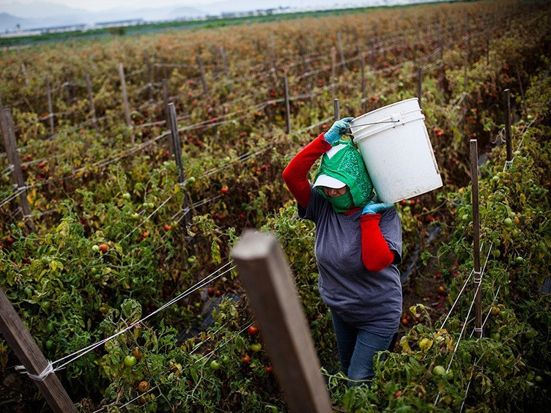 A farmworker harvests tomatoes in a California field.