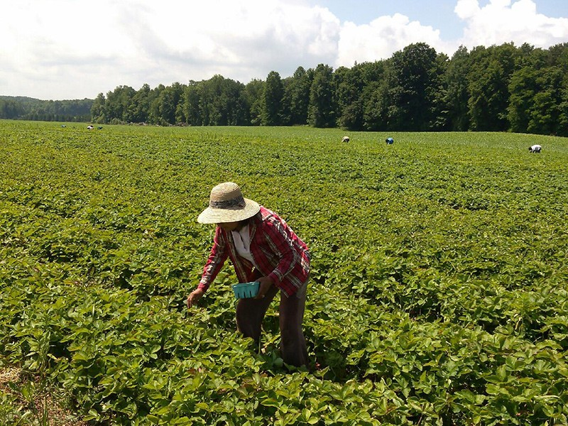 Farmworkers pick strawberries in Wayne County, NY.