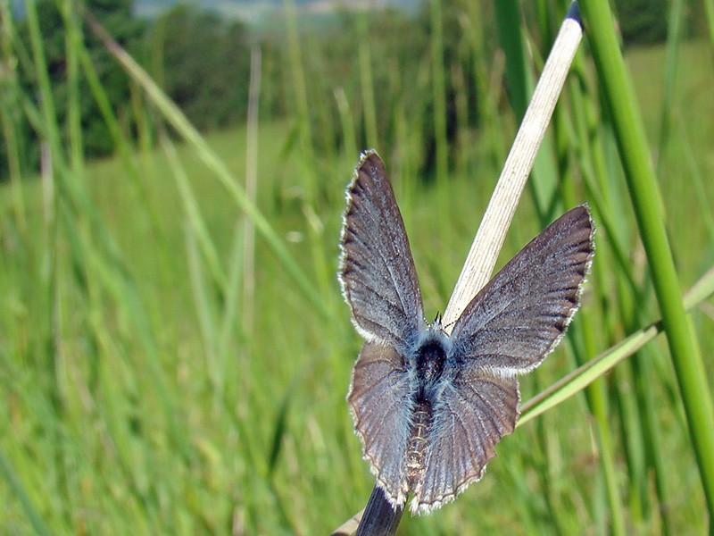 A Fender's blue butterfly at Baskett Slough NWR.