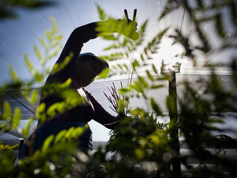 A farmworker harvests ferns in Florida.