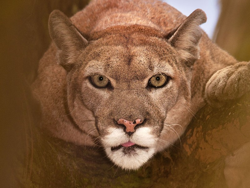 A Florida panther at White Oak Conservation Center