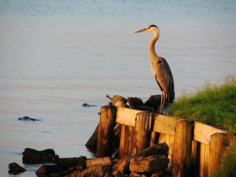 A great blue heron at sunset by a Florida waterway.