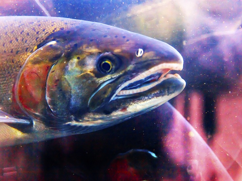 genetically engineered salmon risky