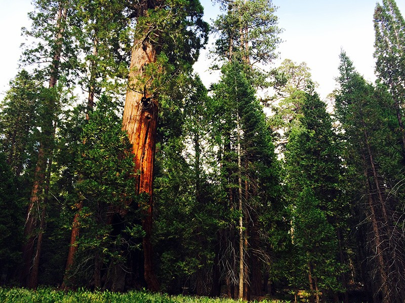 Along the Trail of 100 Giants in Giant Sequoia National Monument.