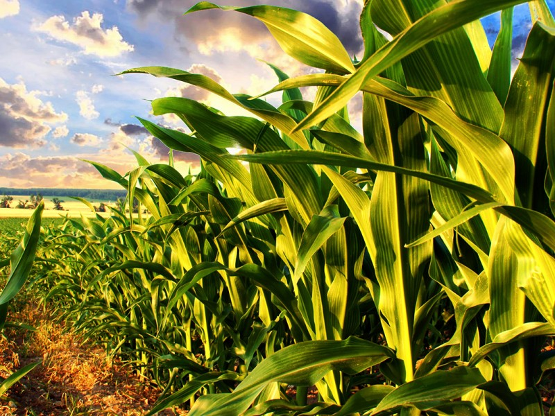 GMO corn growing