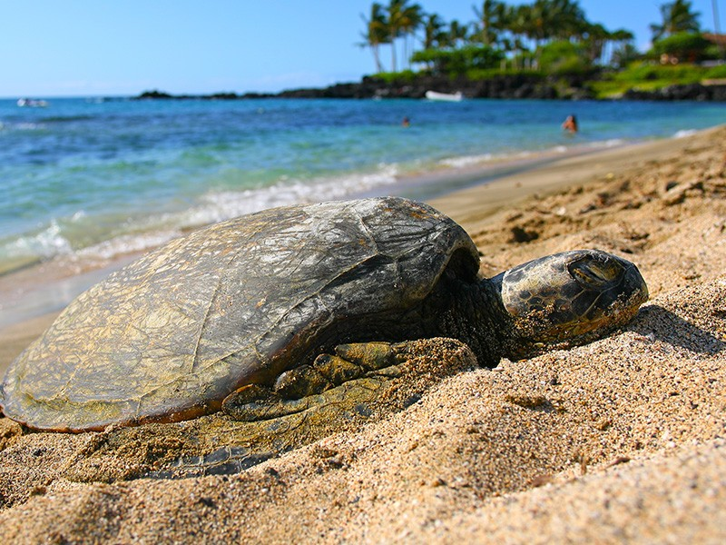 A green sea turtle rests on a Kona beach.