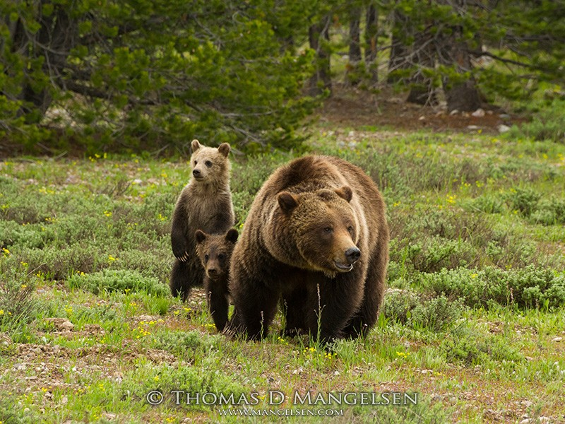 Silver-tipped grizzly 399 surveys a sage-filled meadow looking for potential dangers for her three young cubs in Grand Teton National Park, Wyoming