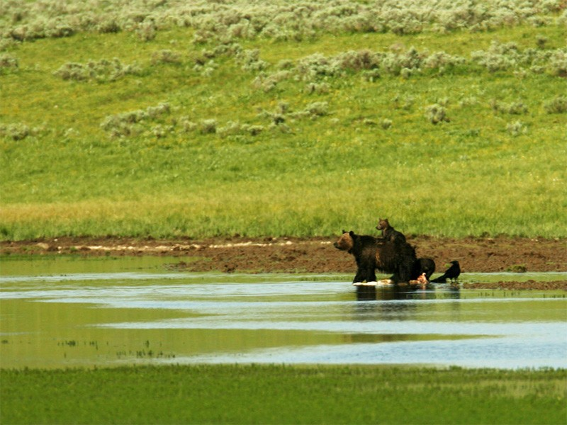 Grizzly bear and cub in Yellowstone National Park.