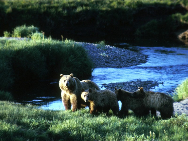 Grizzly and cubs in Yellowstone National Park.