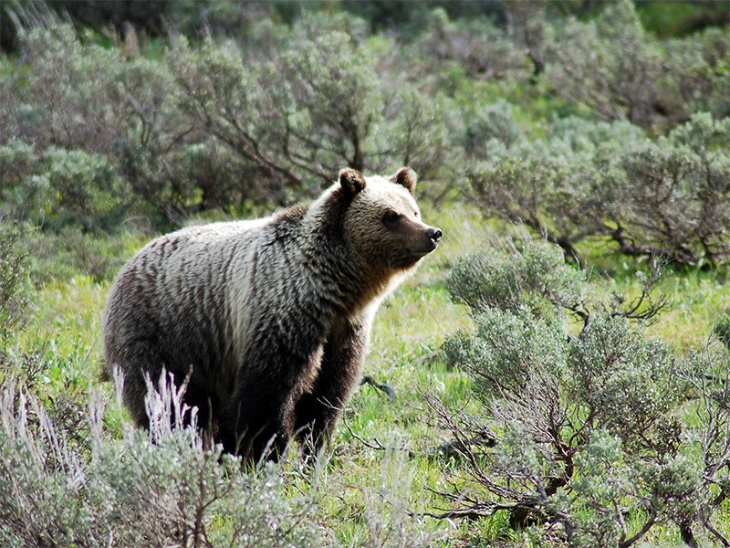Grizzly bear in Grand Teton National Park.