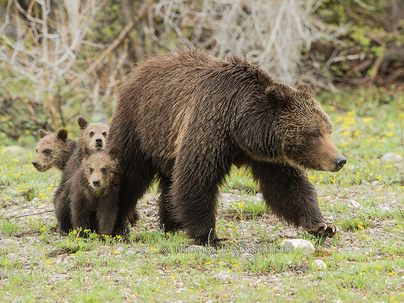 Silver-tipped Grizzly 399, a Yellowstone grizzly bear, surveys a meadow, looking for potential dangers for her three young cubs.