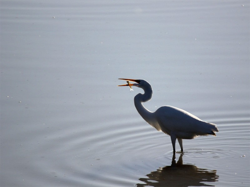 Egret feeding at Humboldt Bay.