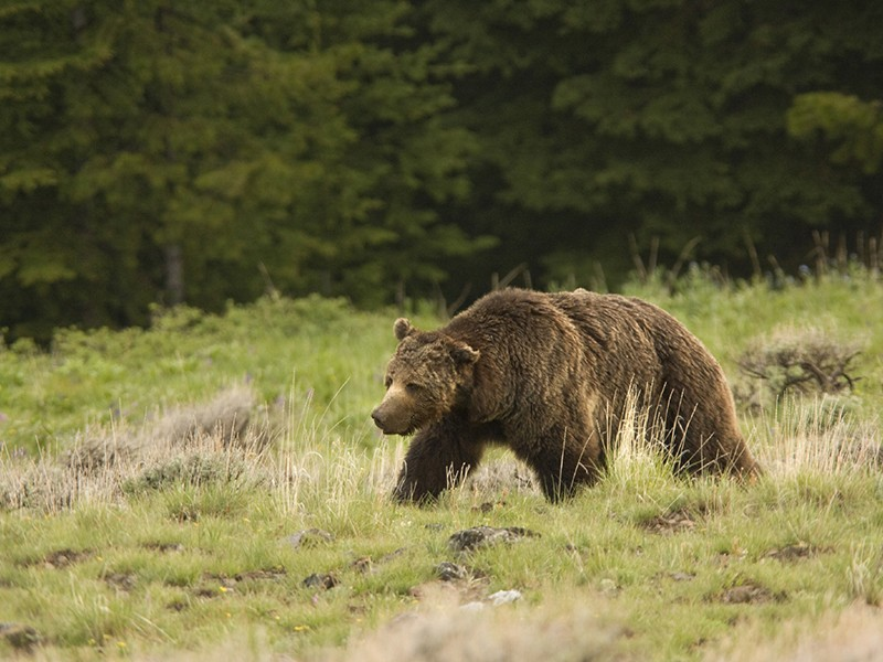 Grizzly in Yellowstone