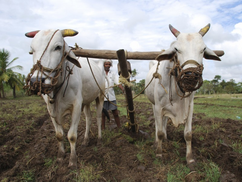 A man in India working with cattle to till a field.