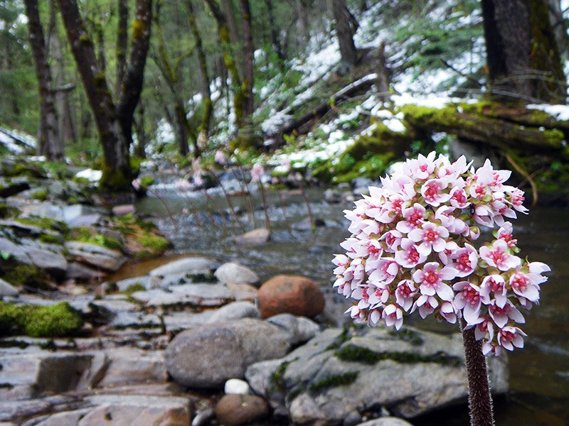 Indian rhubarb (Darmera Peltata) blooming on a crisp spring day, along Deer Creek on the MiWok Ranger District of the Stanislaus National Forest.