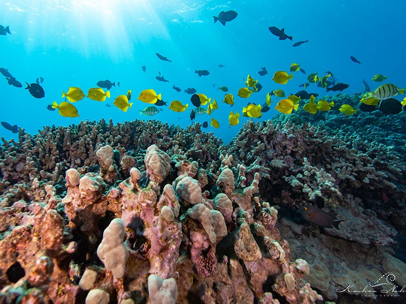 Yellow tangs, known as Lau'ipala by Native Hawaiians, are the most exploited Hawaiian aquarium fish. The industry historically has extracted roughly 300,000 individuals per year.