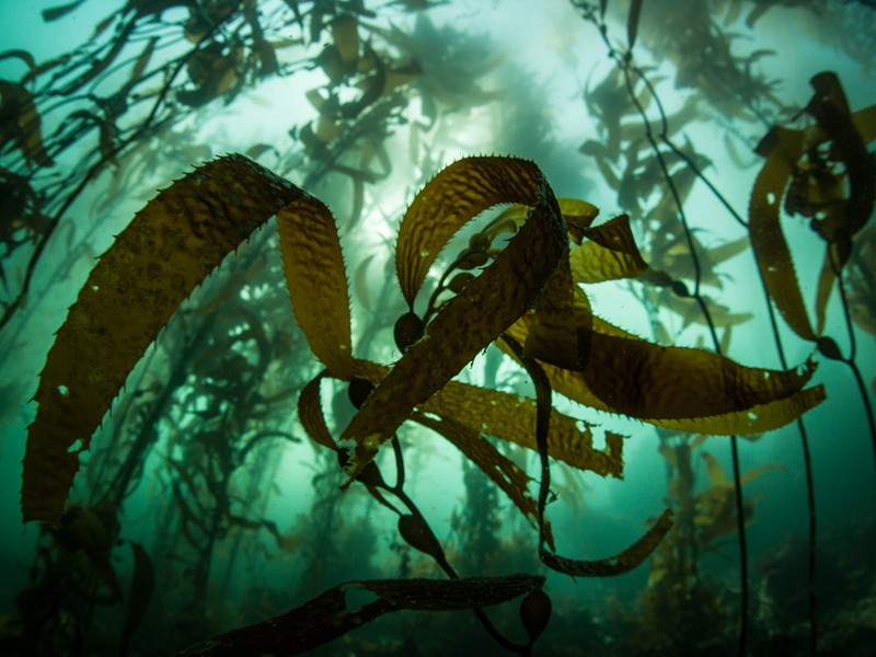 A kelp forest, dominated by giant kelp growing off the coast of California.