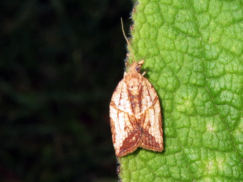 A light brown apple moth. The apple moth program targets an insect that to date has done no documented damage to crops or wild plants in California.