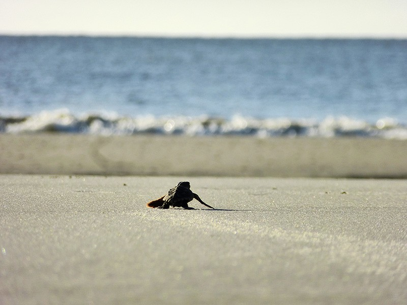 A loggerhead hatchling crawls toward the ocean on Georgia's Blackbeard Island.