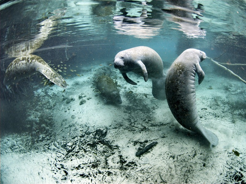 Endangered Florida manatees at the Crystal River National Wildlife Refuge.