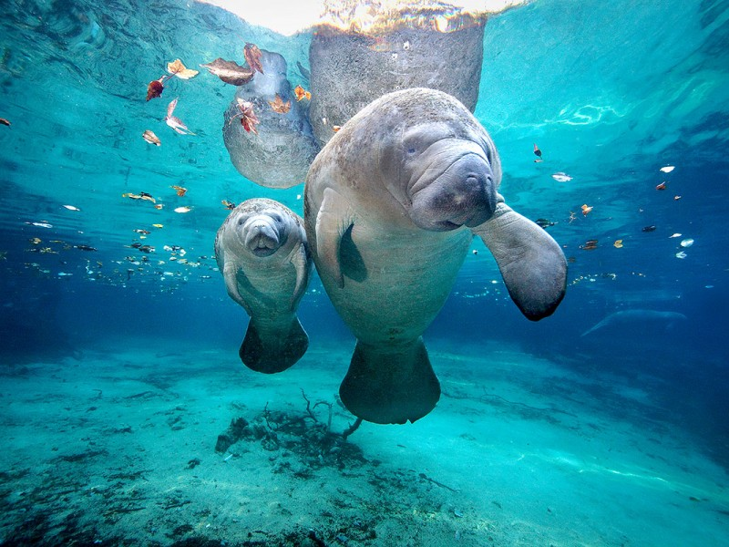 A manatee calf with its mother at Three Sisters Springs in Florida.