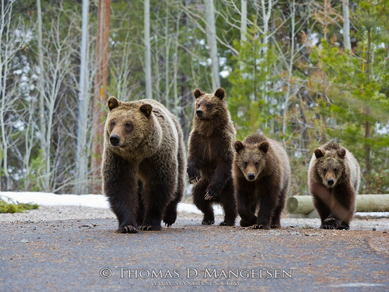 Grizzly 610 walks down a park road with her three cubs in springtime, April 13, 2012.