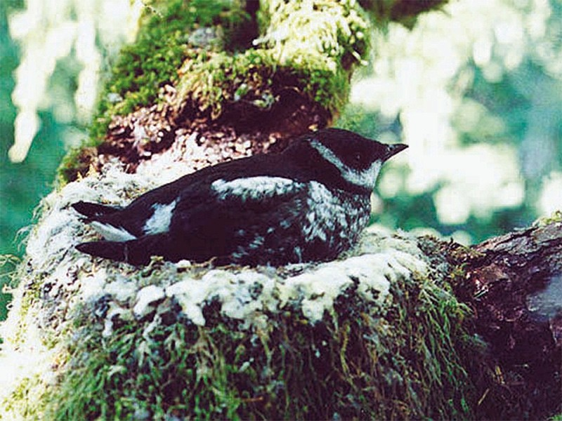 A nesting marbled murrelet.