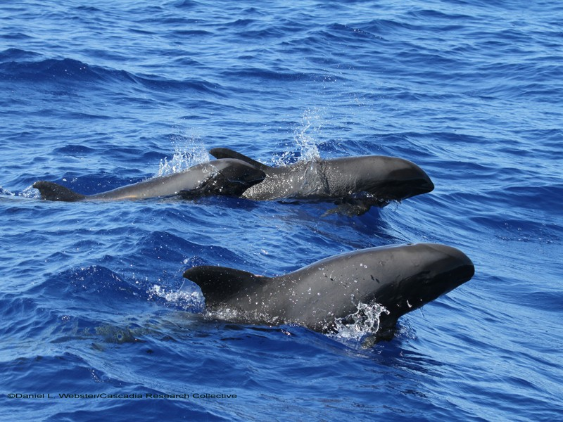 Melon headed whales like these on the west side of Hawai'i island will now be protected from dangerous mid-frequency sonar training and testing.
