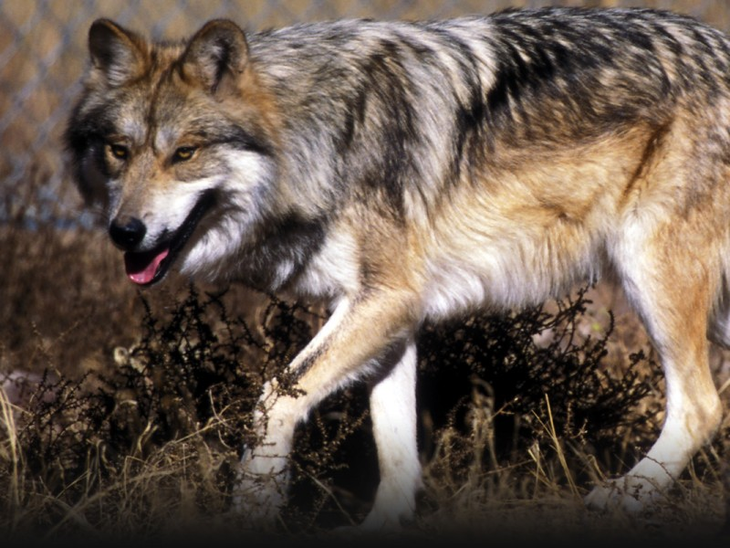 Mexican wolf on the Sevilleta National Wildlife Refuge, New Mexico.