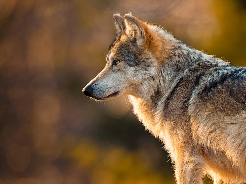 Forty Years Of Waiting To Save The Last Wild Lobos Earthjustice