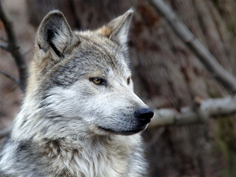 A Mexican gray wolf.