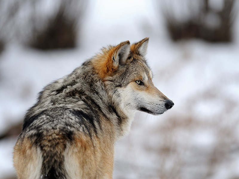 Mexican grey wolf - photo#12