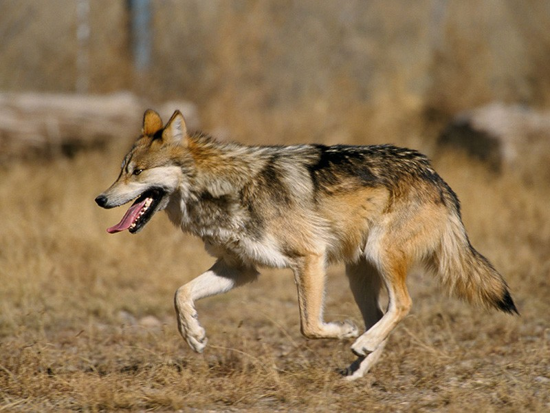 Mexican gray wolf.