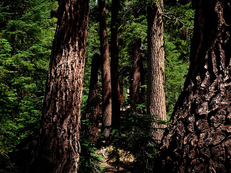 California red firs at Mineral King's Timber Gap in the Sierra Nevadas.