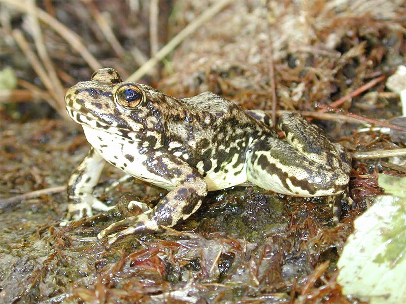 Mountain yellow-legged frog.