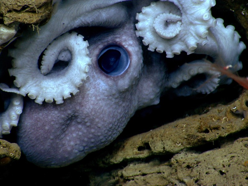 An octopus hides in the rocks in Welker Canyon.