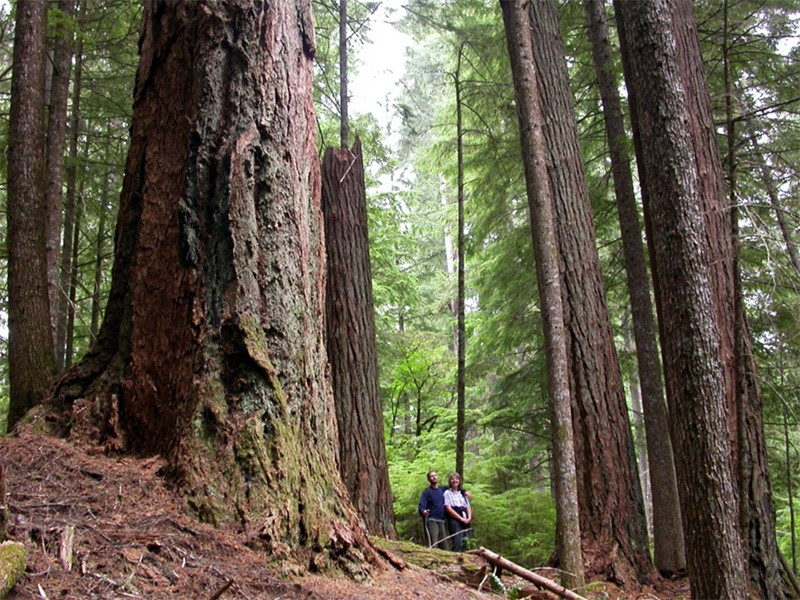 An old-growth forest in Oregon.