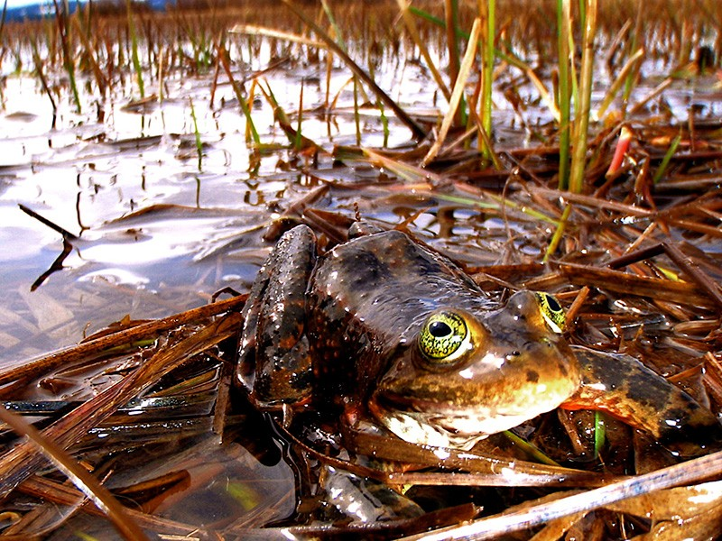 An Oregon spotted frog, in the Conboy National Wildlife Refuge.