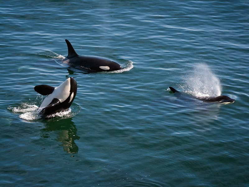 Southern Resident orca J and K pods, near Saturna's East Point, heading west, on September 4, 2011.