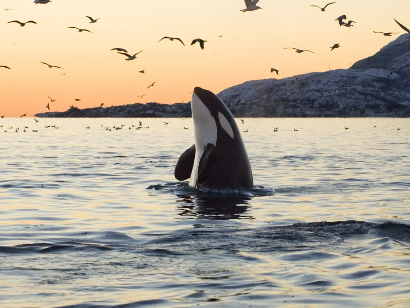An orca spyhops to survey its surroundings. (iStockphoto)