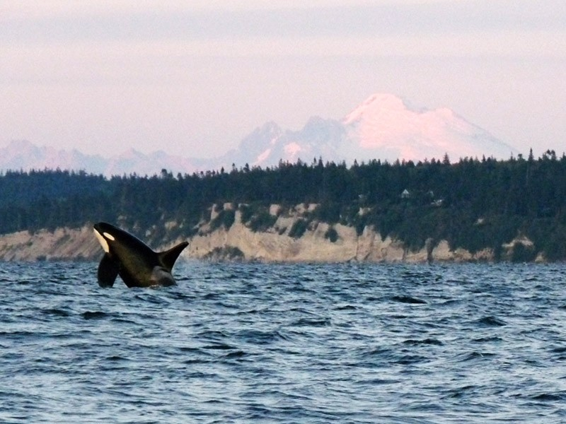 Orca L87 breaches at sunset in Washington's Puget Sound with Whidbey Island and Mt. Baker in the background.