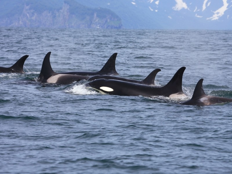 The Puget Sound orcas live in three pods named J, K, and L. Members of L pod, Admiralty Inlet, Oct. 10, 2009.